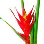 Enviar rosas a Bogota
